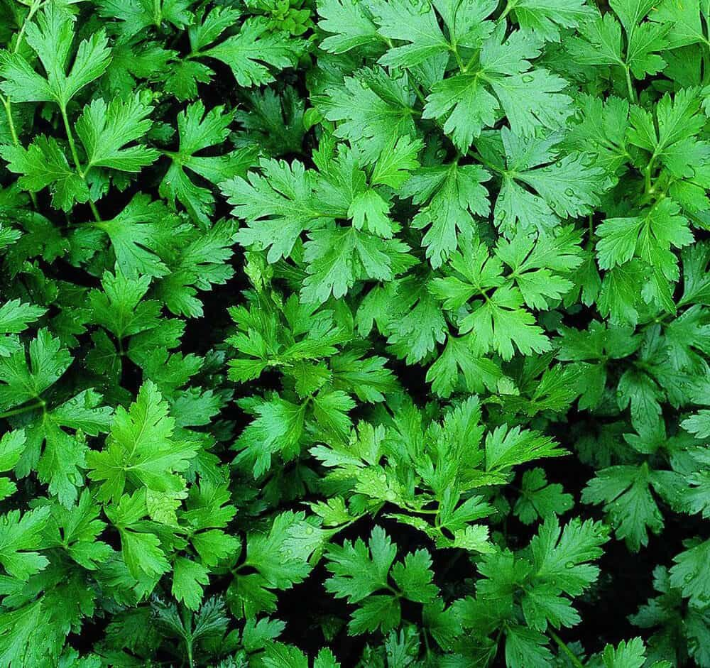 bunch of wild parsley leaves