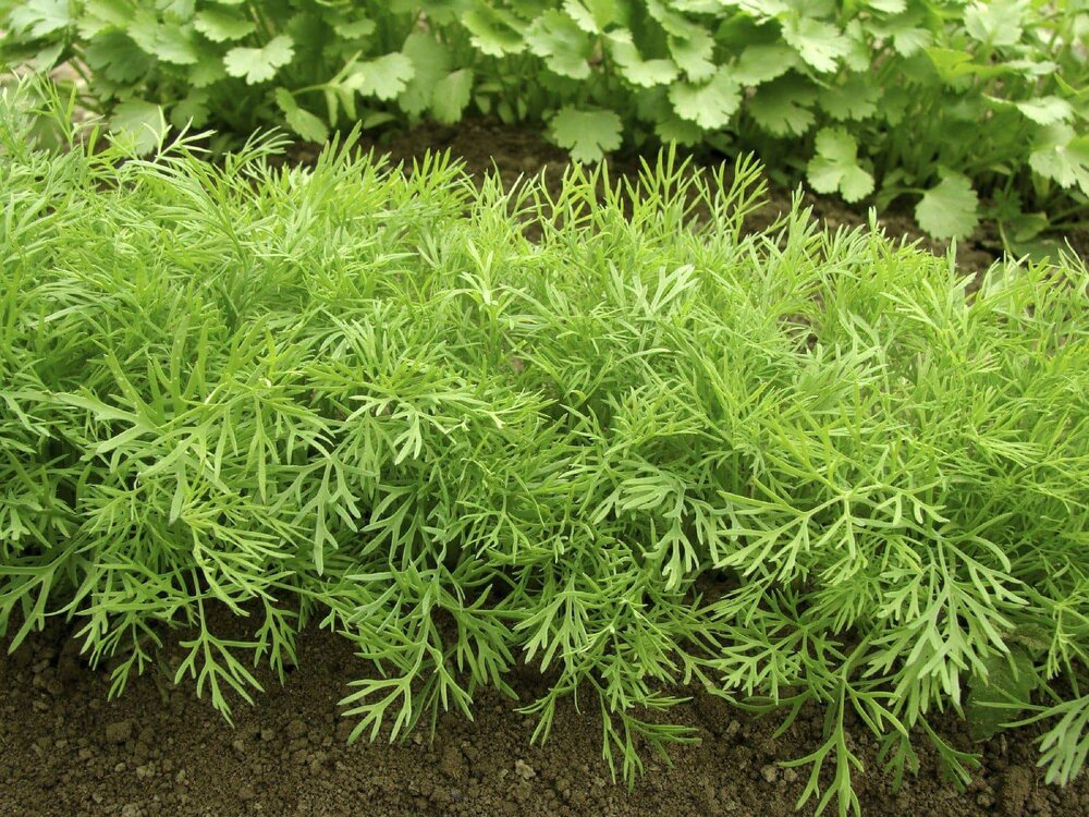 bushy dill plants