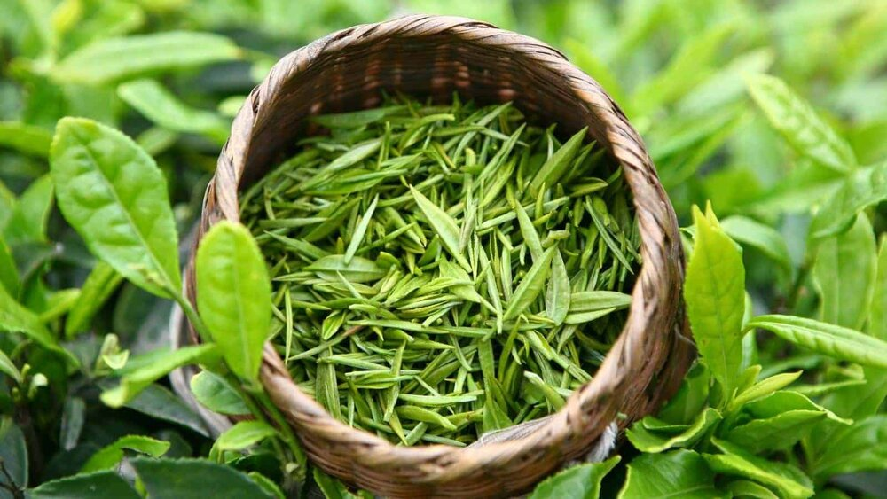 camellia sinensis leaves in a basket