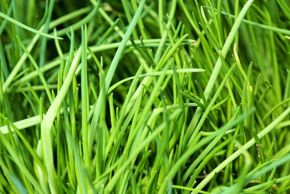 chive leaves and stems