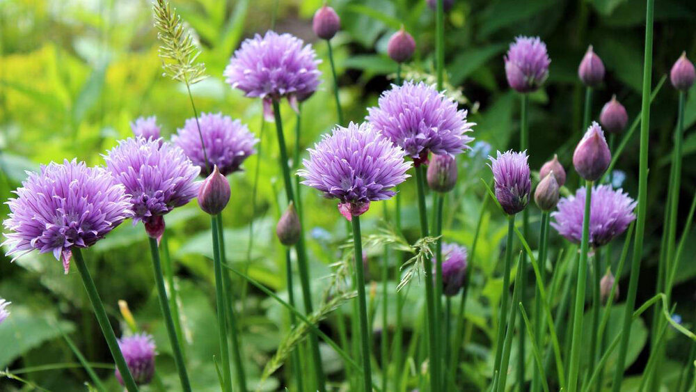 chives flowers and crops