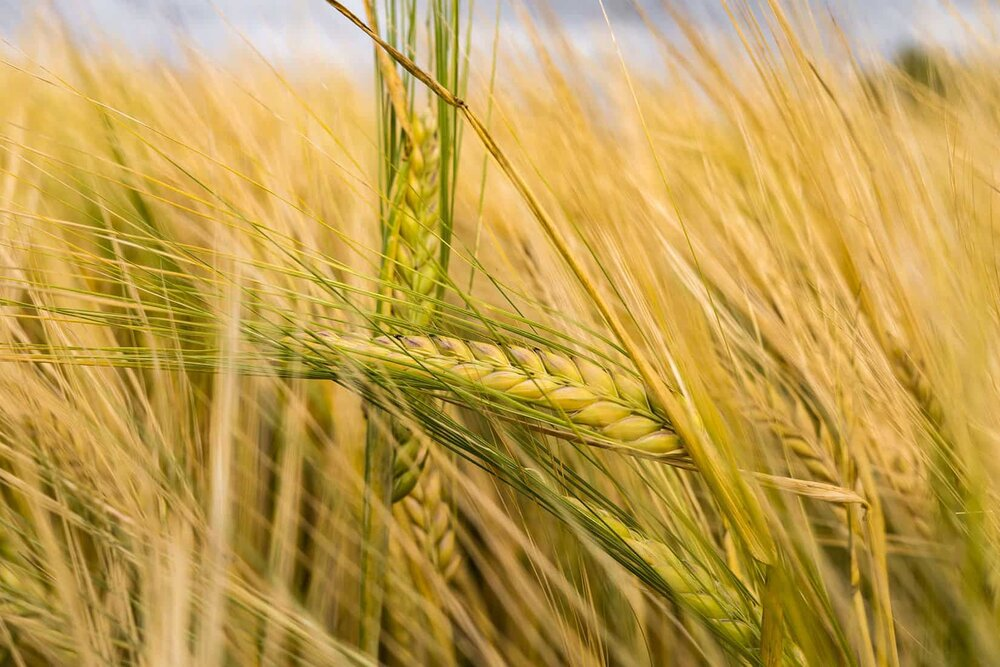 field of grains and crops