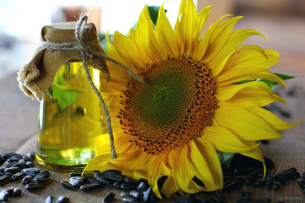 sunflower head seeds and oil