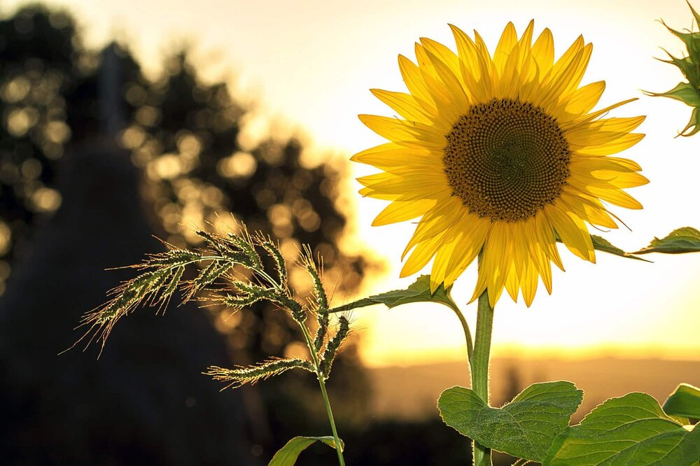 sunflower plant in the sunset