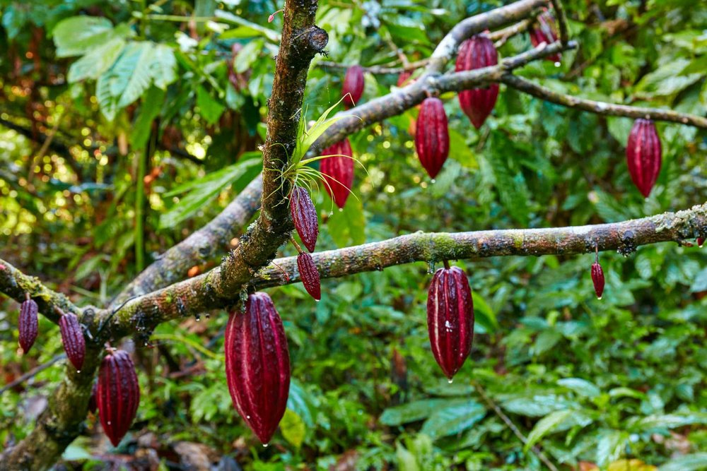 theobroma cacao tree with growing beans