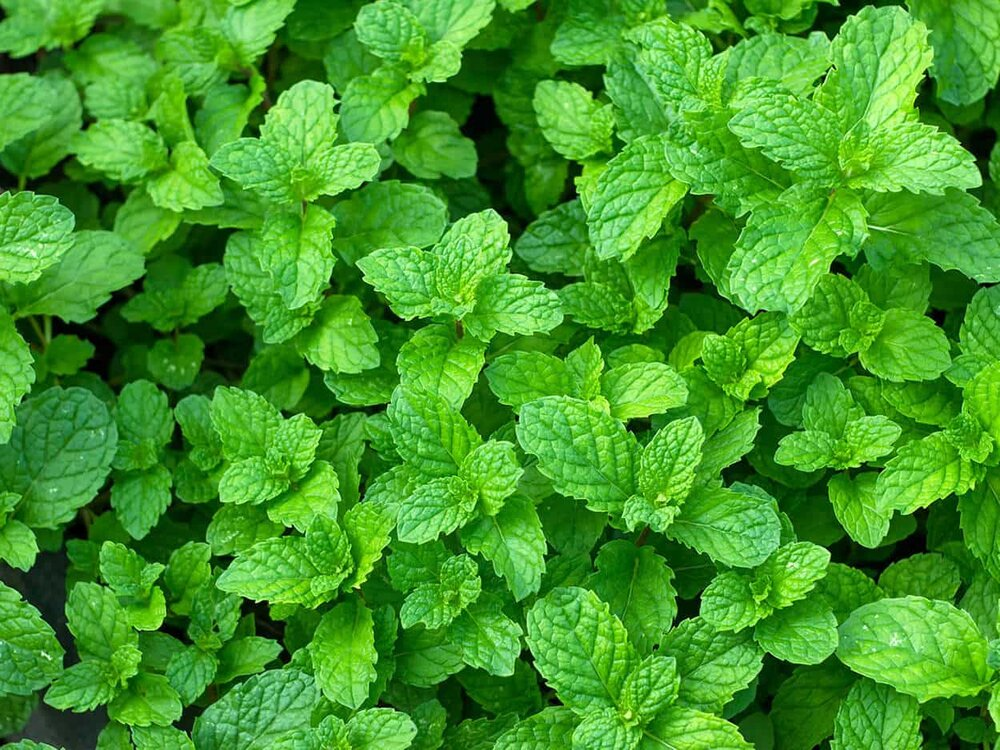 wild mint leaves and mint plants