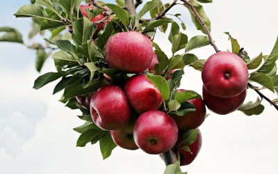 Apples – Health Benefits and Side Effects